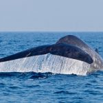 blue-whale-watching-in-mirissa