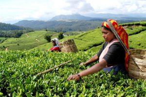 ACTIVITY-tea-plucking