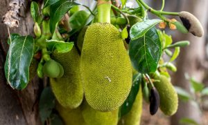 jackfruit-weird-fruit.jpg.838x0_q80